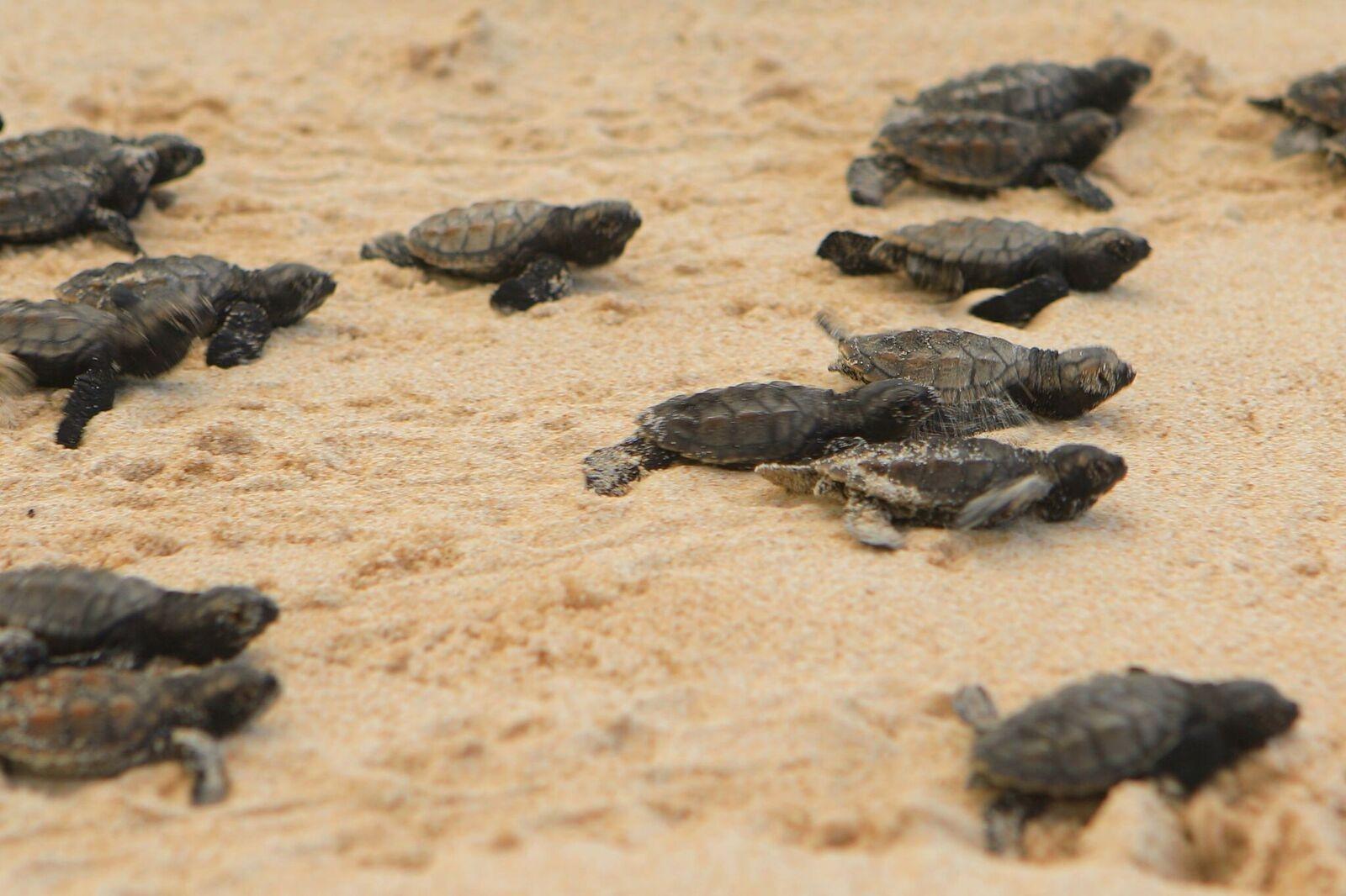 Tortugas marinas en la playa