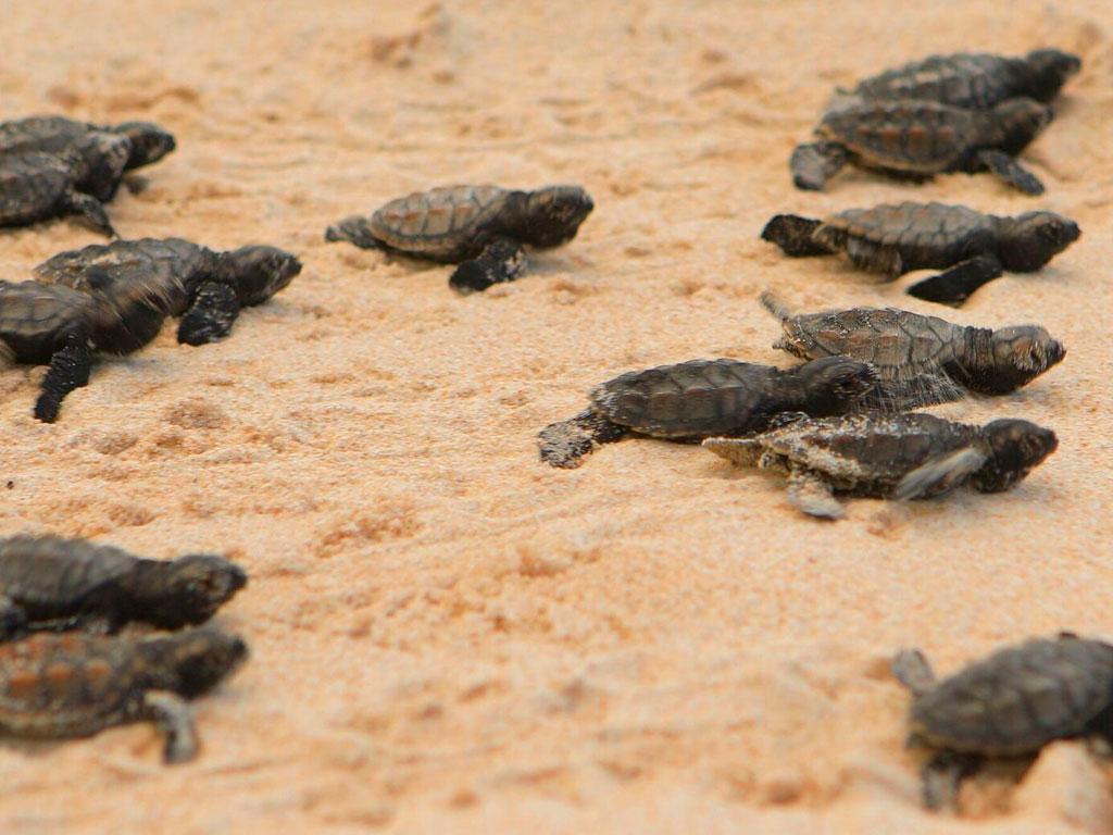 Nacimiento de tortugas marinas