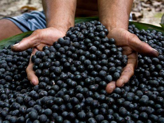 acai fruta brasil