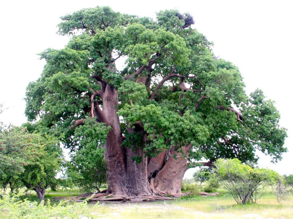 boabab africa arbol ipojuca