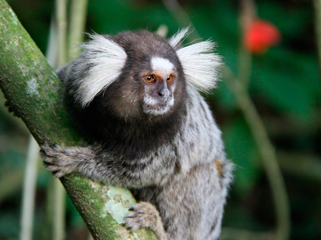 sagui mono
