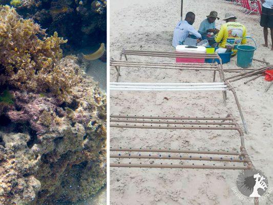 recuperacion de corales porto de galinhas