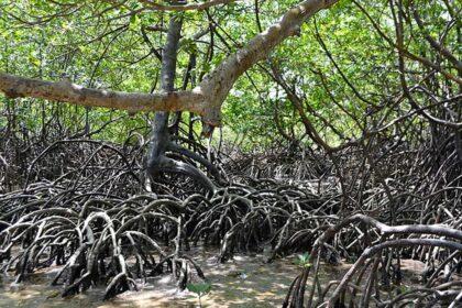 manguezal mangue
