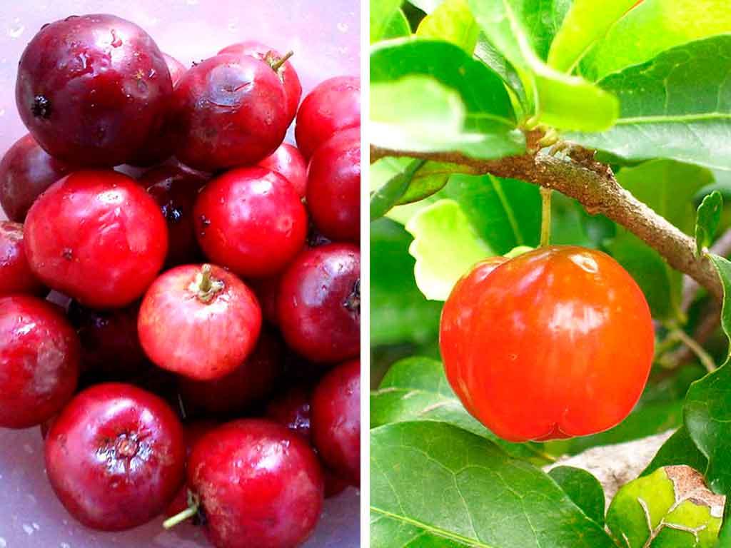 fruta acerola